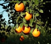 Comienza la recogida escalonada de frutas cítricas