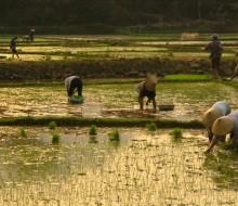 El alimento más consumido en 2013: el arroz