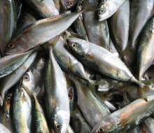Los pescados con más metales tóxicos
