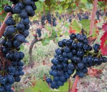 Estudian el efecto antitumoral y antimetastásico en uvas mencía
