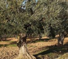 Completada la primera fase de secuenciación del ADN del olivo