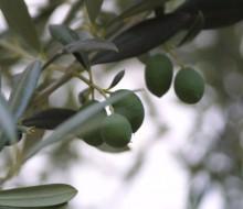 El COI prepara un estudio sobre los costes del olivo