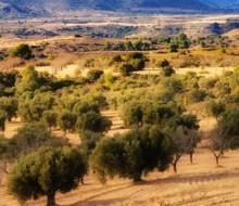 Rutas españolas de aceite de oliva