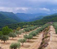 Crisis en el sector oleícola valenciano
