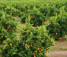 Las plantaciones de naranjos andaluzas atrapan el CO2