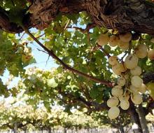 La bajada de la cosecha marca la vendimia en Valencia