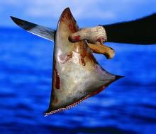 El estado de Nueva York prohíbe las aletas de tiburón