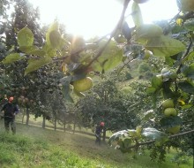 Cosecha histórica de manzana