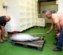 Pescado un atún de 80 kilos en la Mariña Lucense
