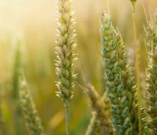 El calor reduce las cosechas de cereales un 30%