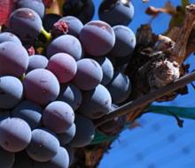 Los vinos aragoneses, a la conquista de América