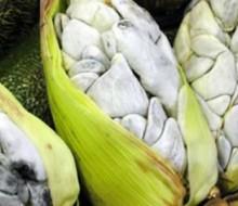 Huitlacoche: el hongo predilecto de la cocina mexicana