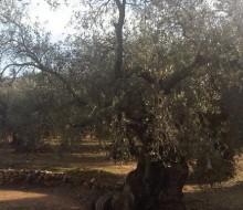 100.000 olivos centenarios buscan padrino