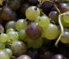 La cosecha de uva en Málaga sube un 10 por ciento