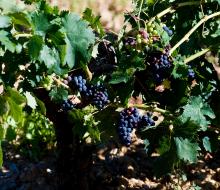 La vendimia, una buena época para conocer la Ribera del Duero