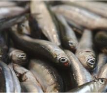 La reina de la costa cantábrica: la anchoa
