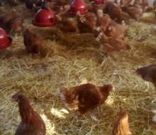 La producción del huevo ecológico